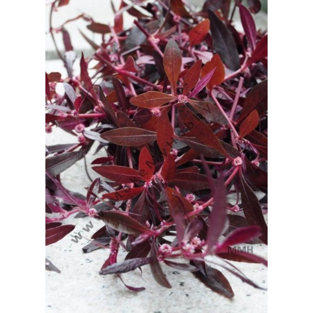 Alternanthera Sessilis, Purple