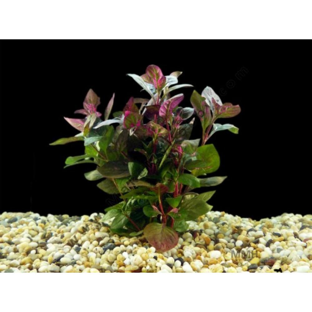 Hemigraphis Sp. Pink, Terrarium Plant