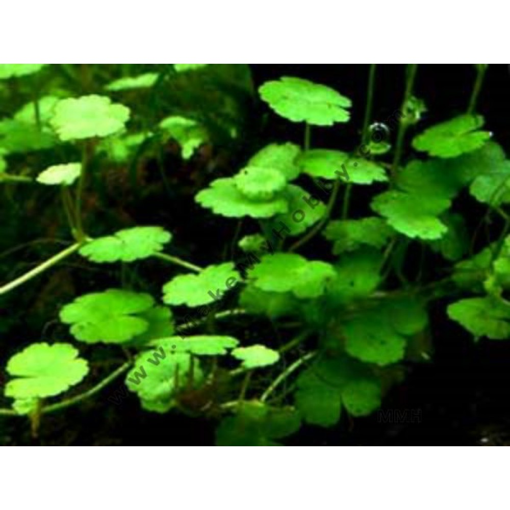 "Hydrocotyle  Sibthorpioides ""Mini""  (Mat 5 X 4 Inch)"