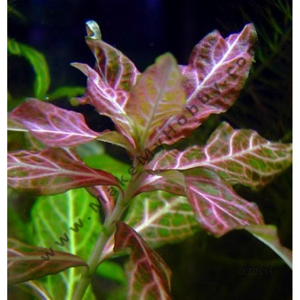 Hygrophila Polysperma, Rosanervig