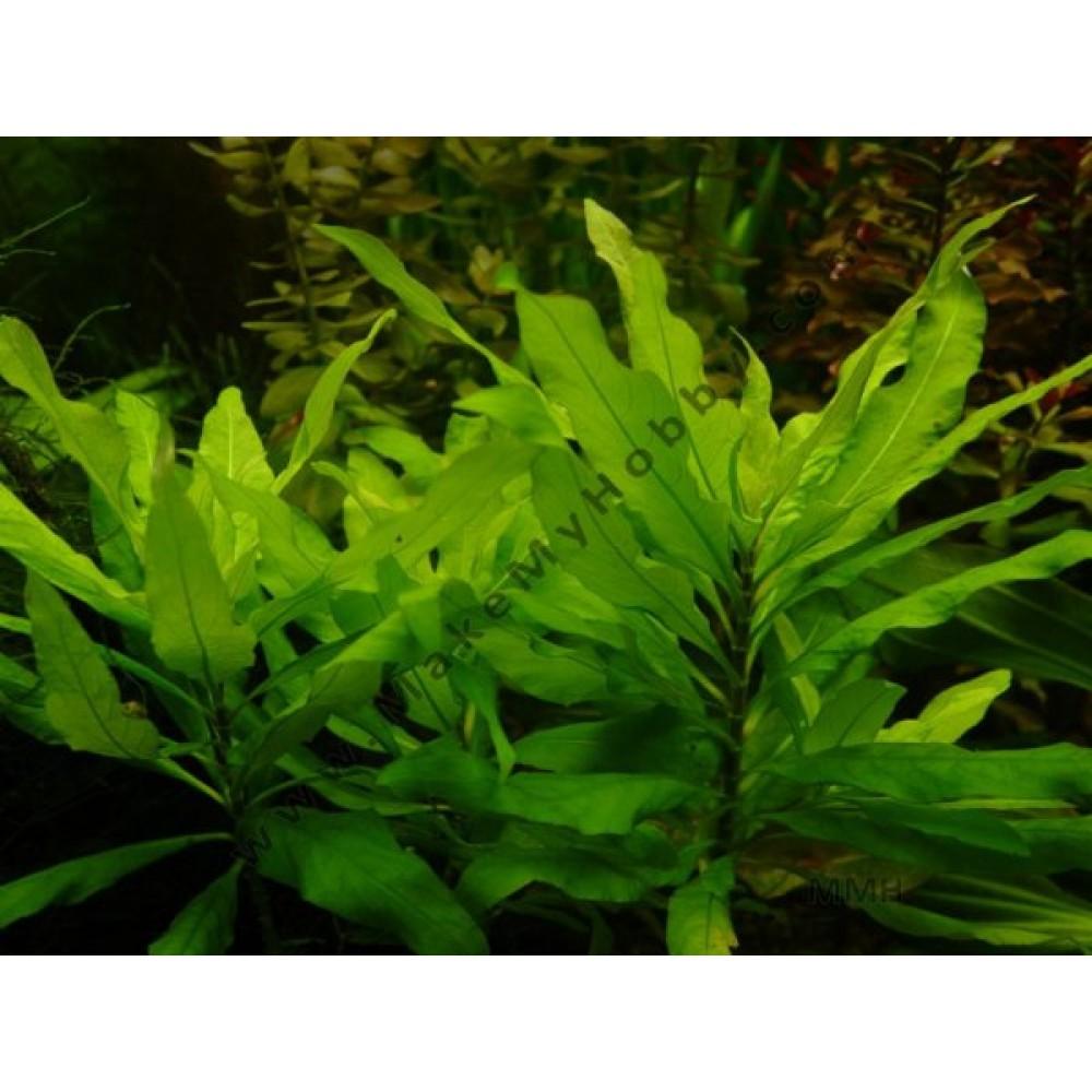 Hygrophila Guyanensis