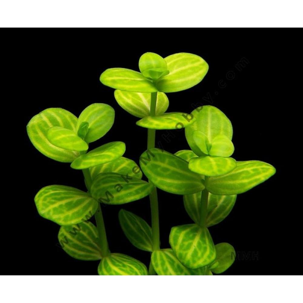 """Lindernia Rotuundifolia, """"Variegated"""""""
