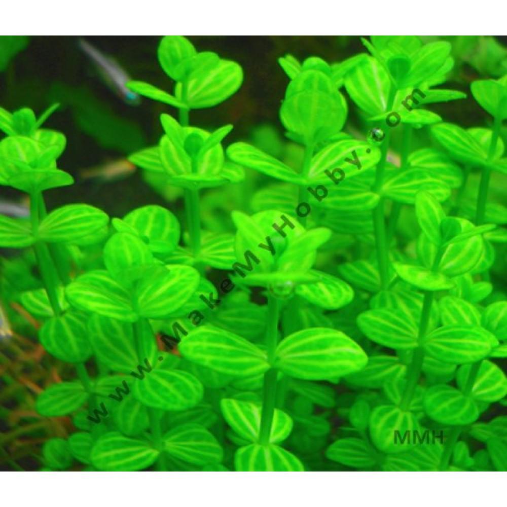 Lindernia Rotuundifolia --Green