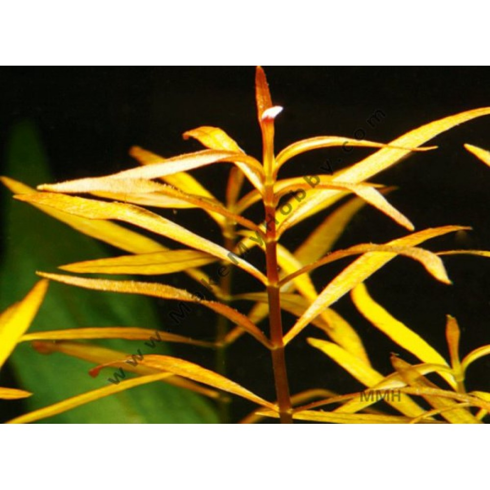 Ludwigia Arcuata, Dark Red