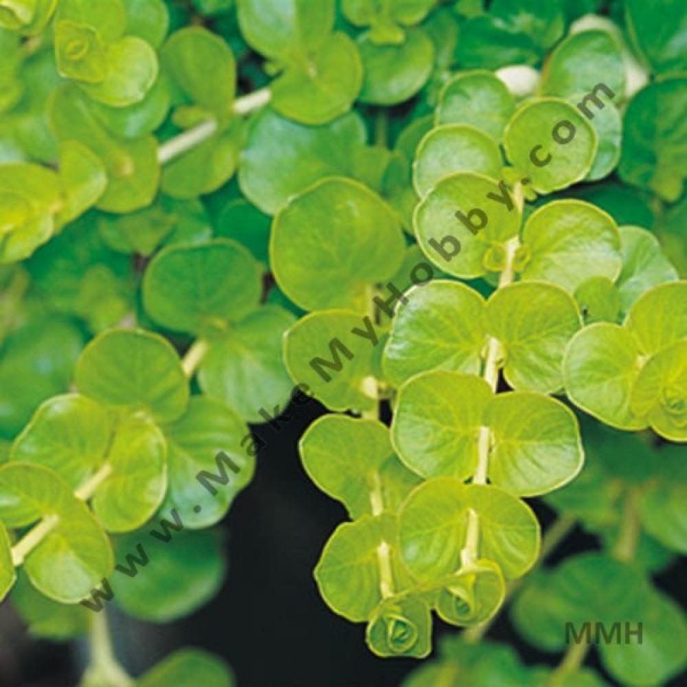 Lysimachia Nummularia Aura, Green