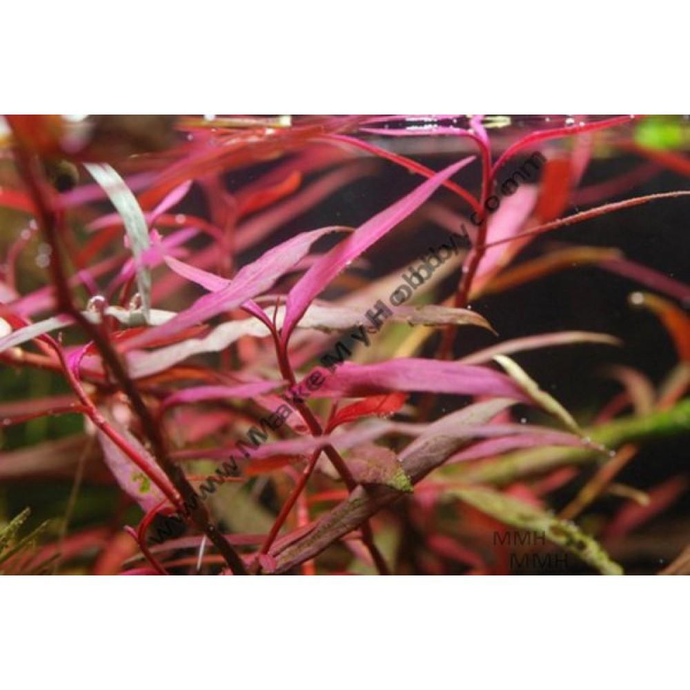 "Polygonum sp. ""Kawagoeanum"""