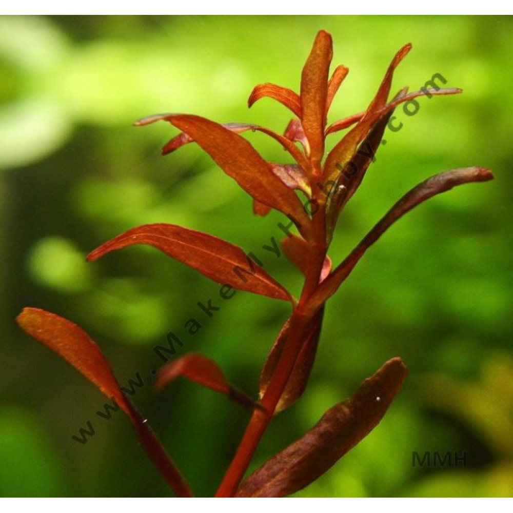 "Rotala Macrandra ""Mini"" Butterfly ""Hi Red"""