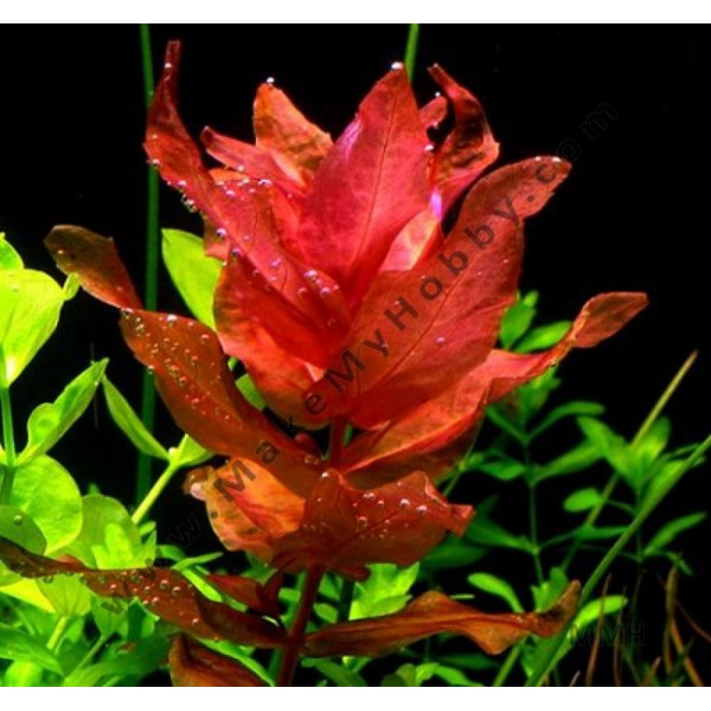 Rotala Macrandra, Pink, Submersed
