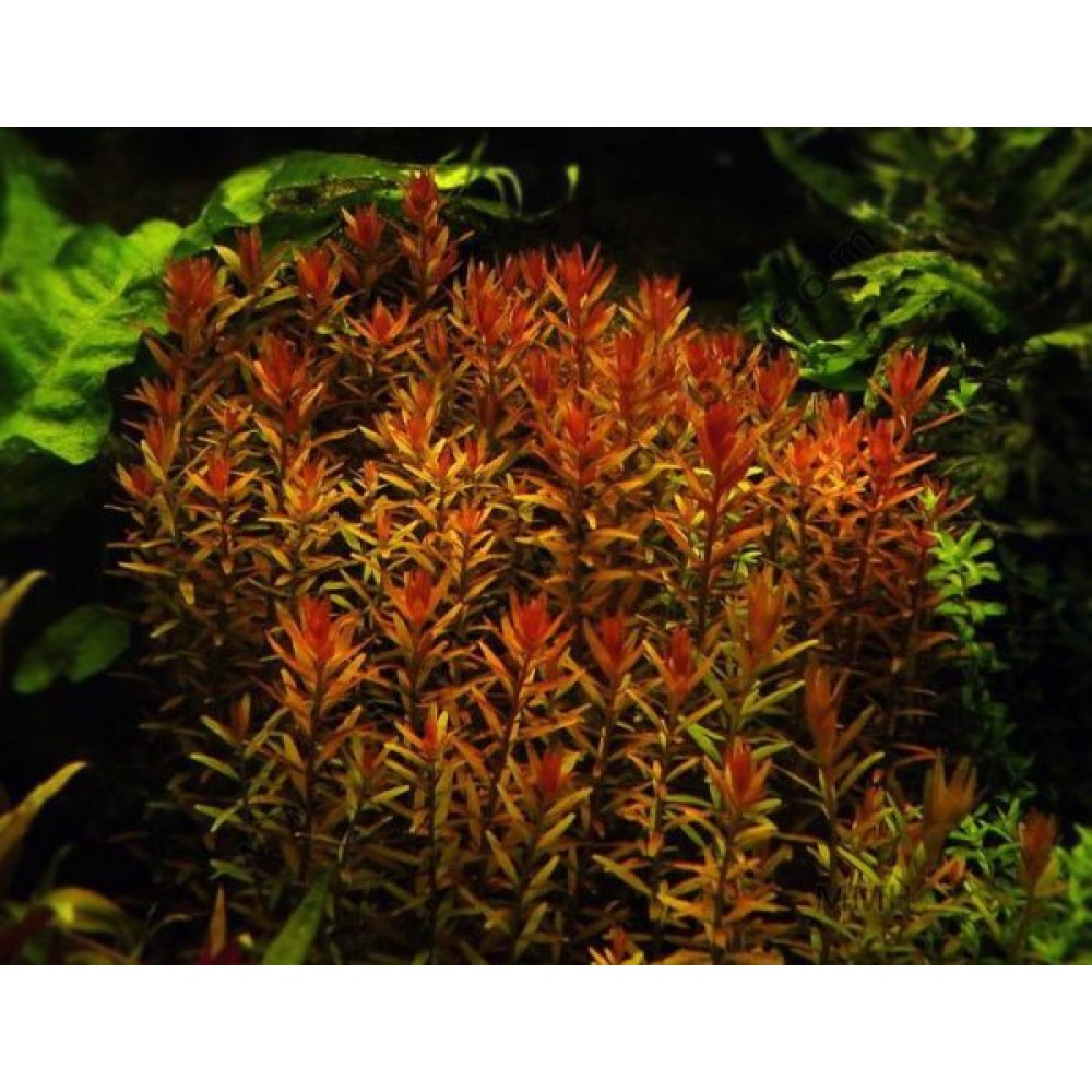 Rotala Rotundifolia, Hi Red