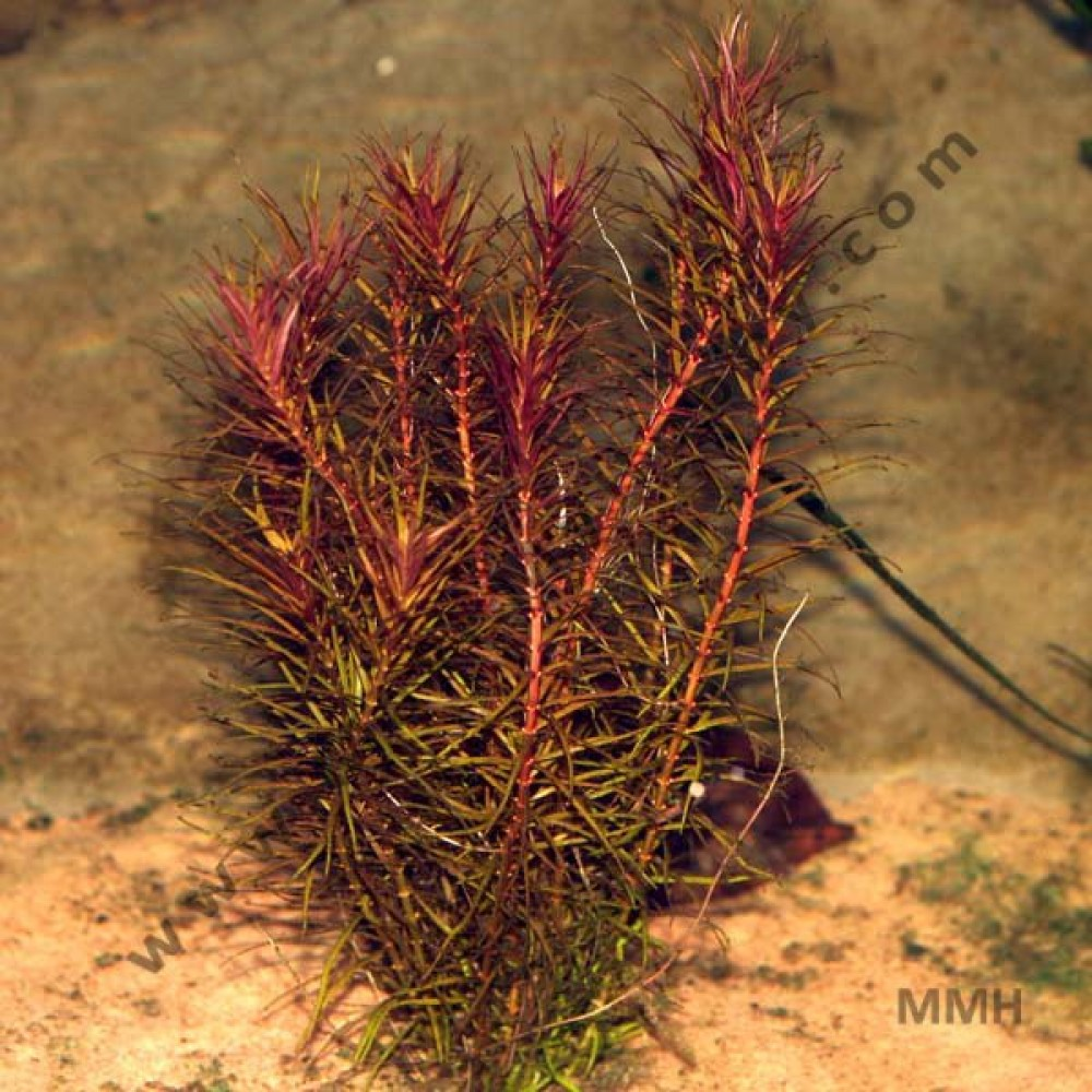 Rotala Wallichii, Red