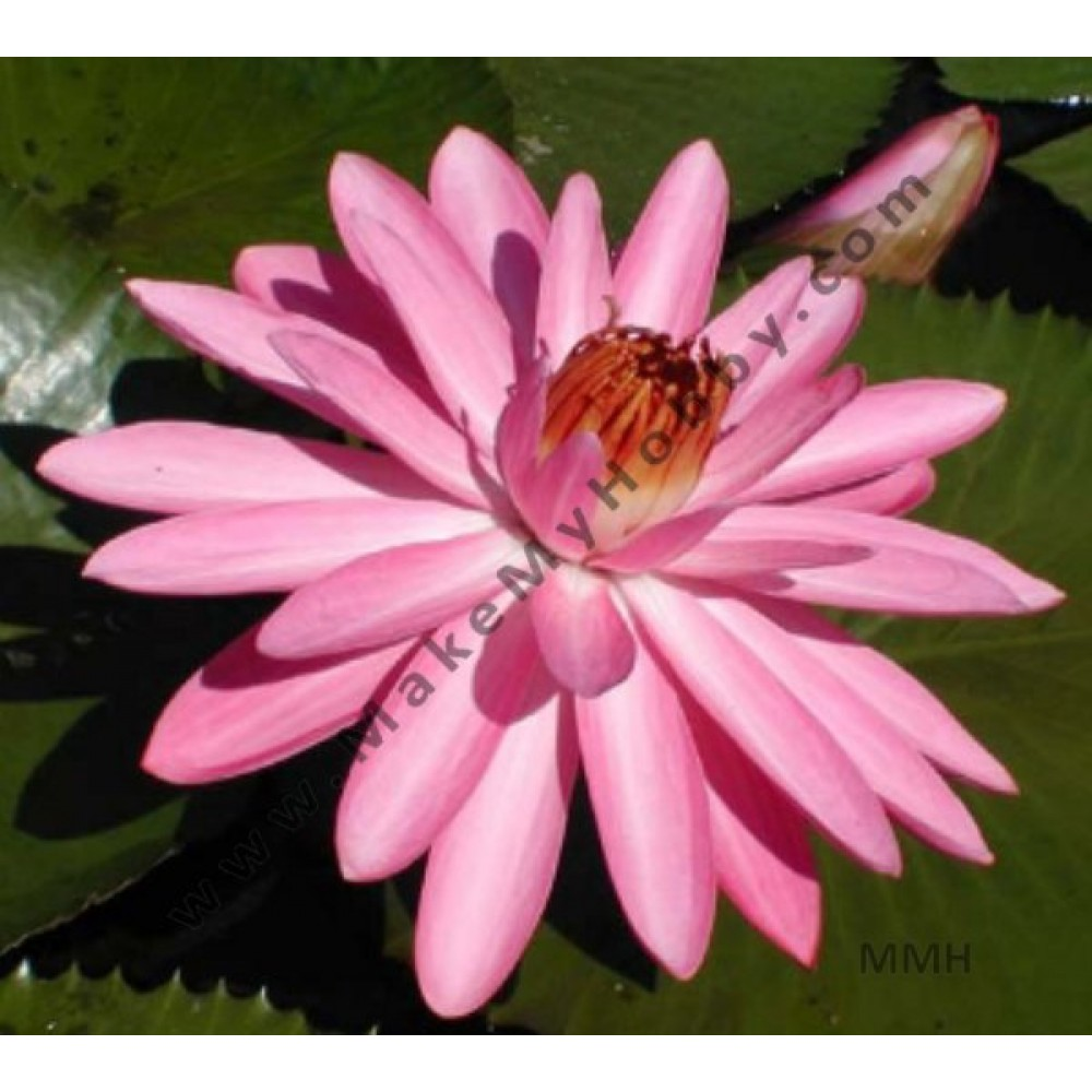 Nymphaea Sp. Night Blooming, Pink