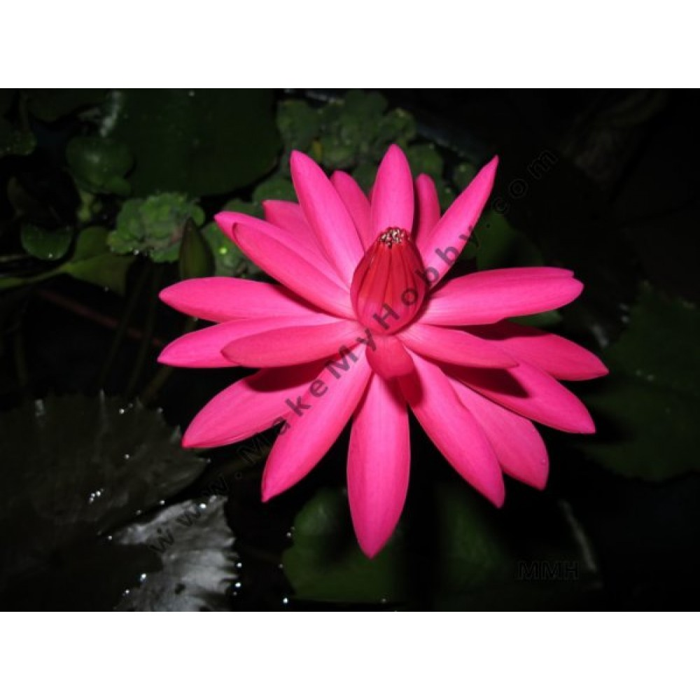 Nymphaea Sp. Night Blooming, Red