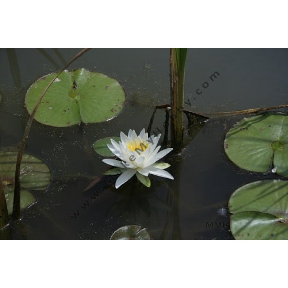Nymphaea Sp. Night Blooming, Small White
