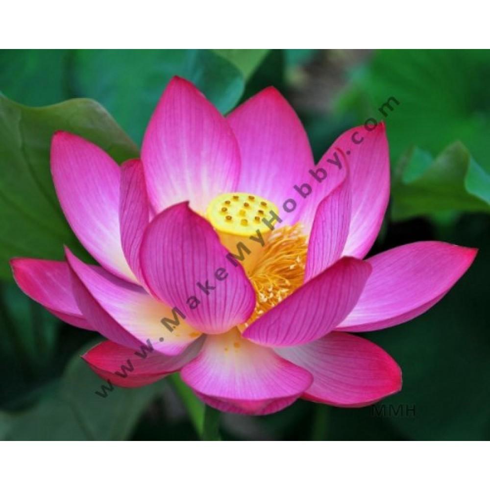 Nelumbo Nucifera, Pink