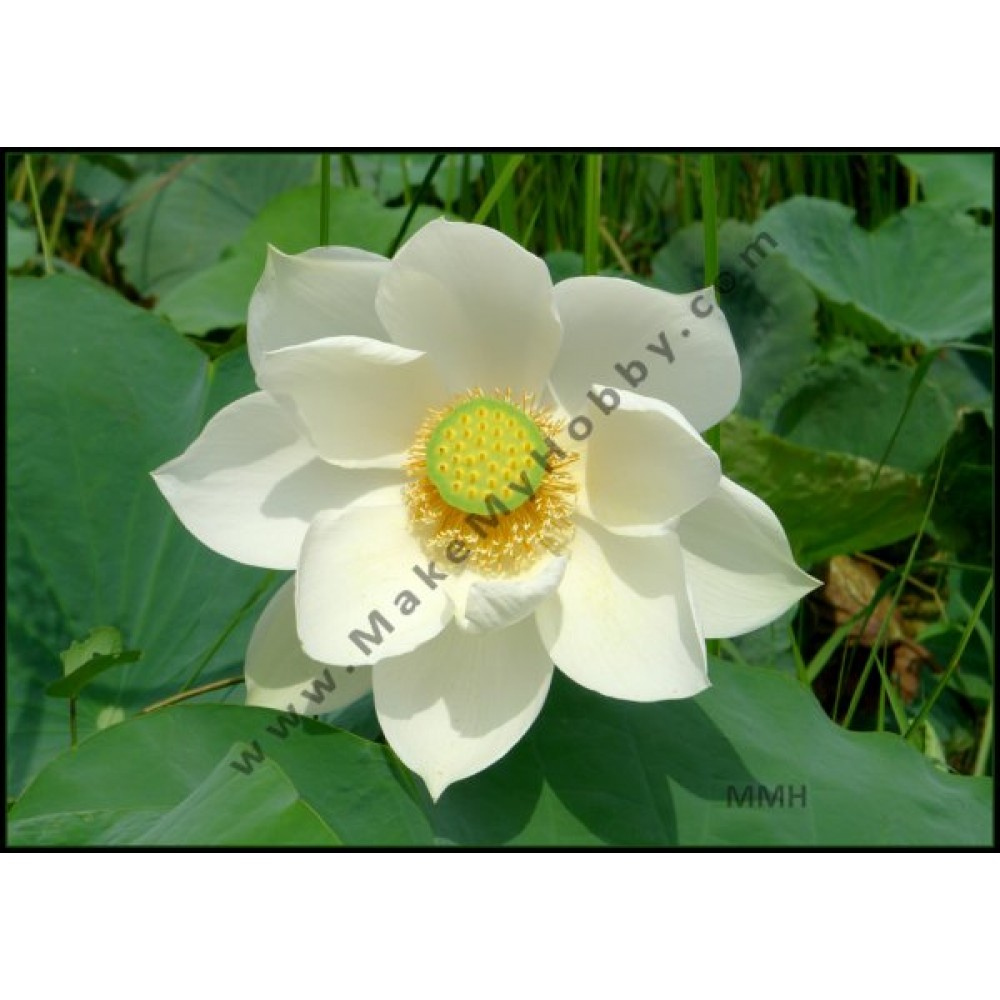 Nelumbo Nucifera, White