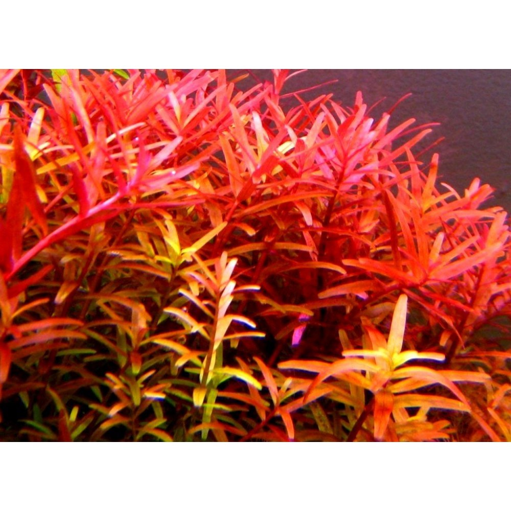 Rotala Rotundifolia, Red