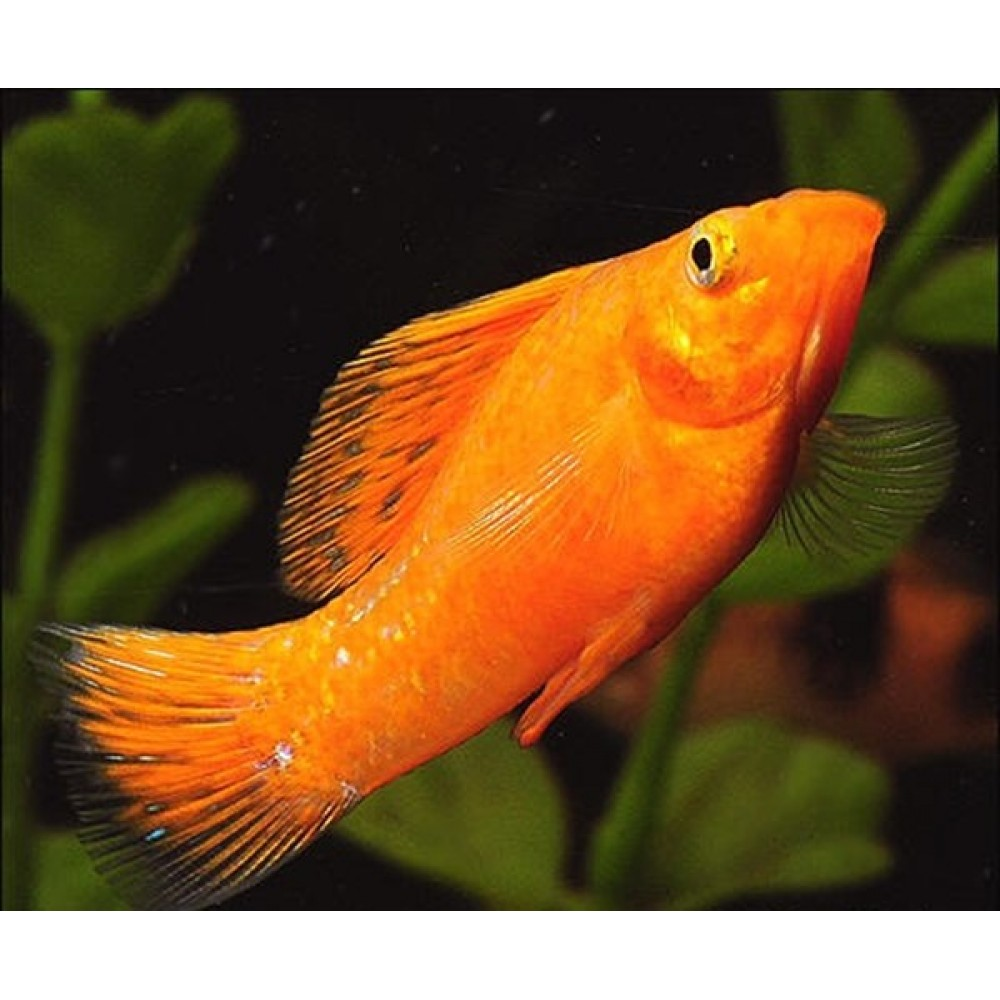 Orange Molly Fish