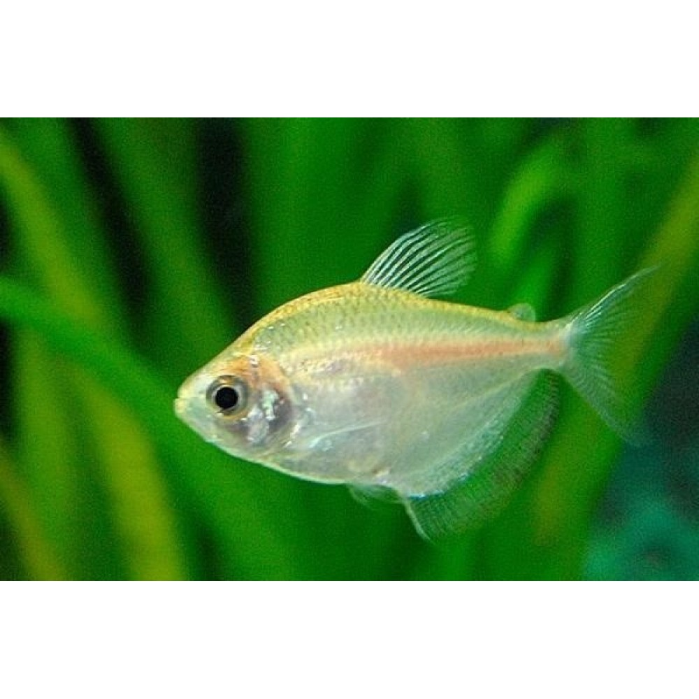White Widow Tetra