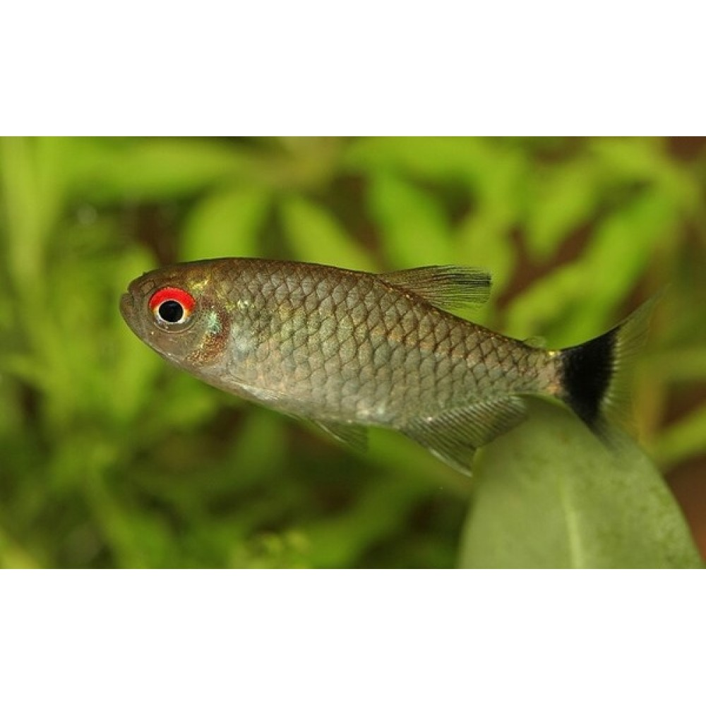 Red Eye Tetra, small