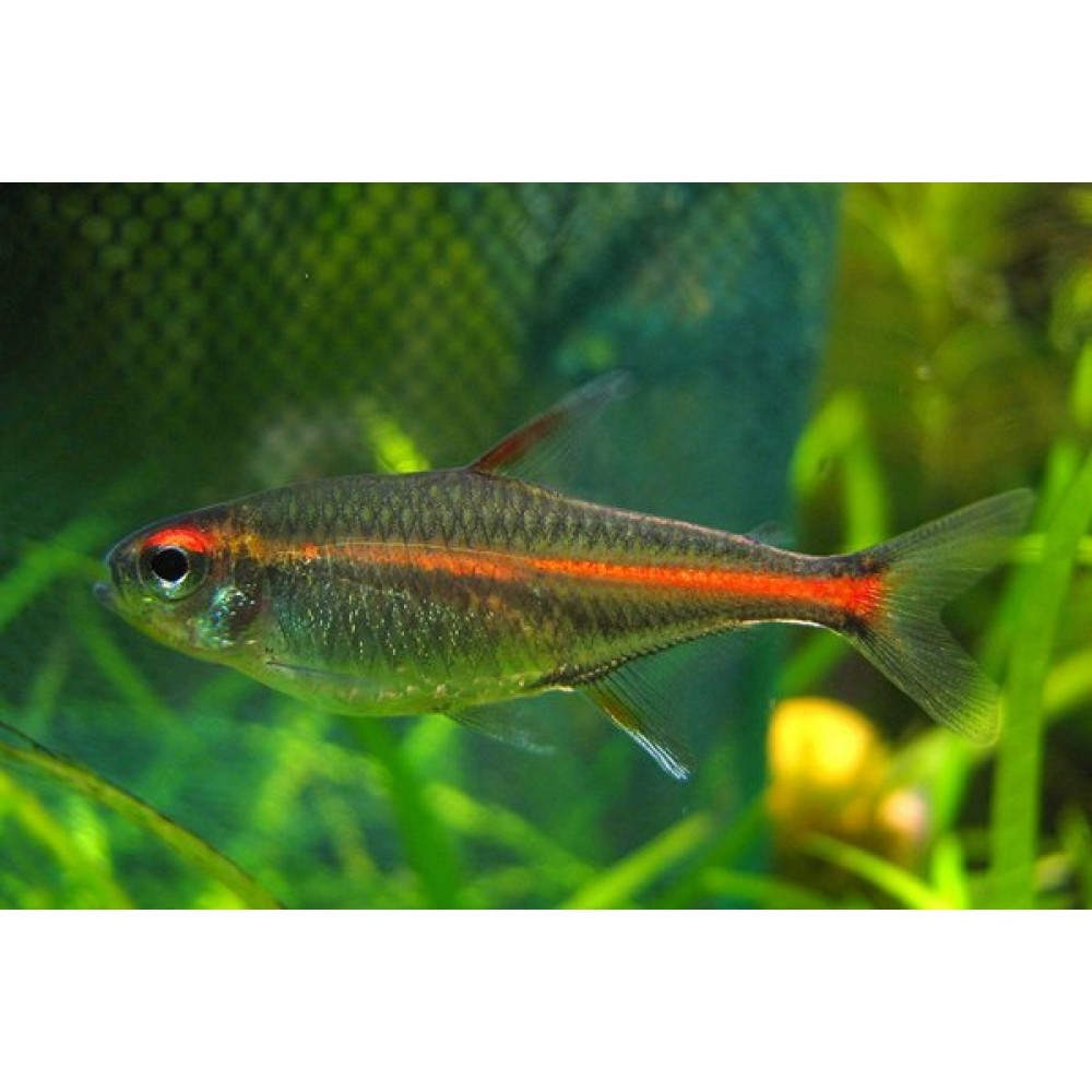 Glow Light Tetra