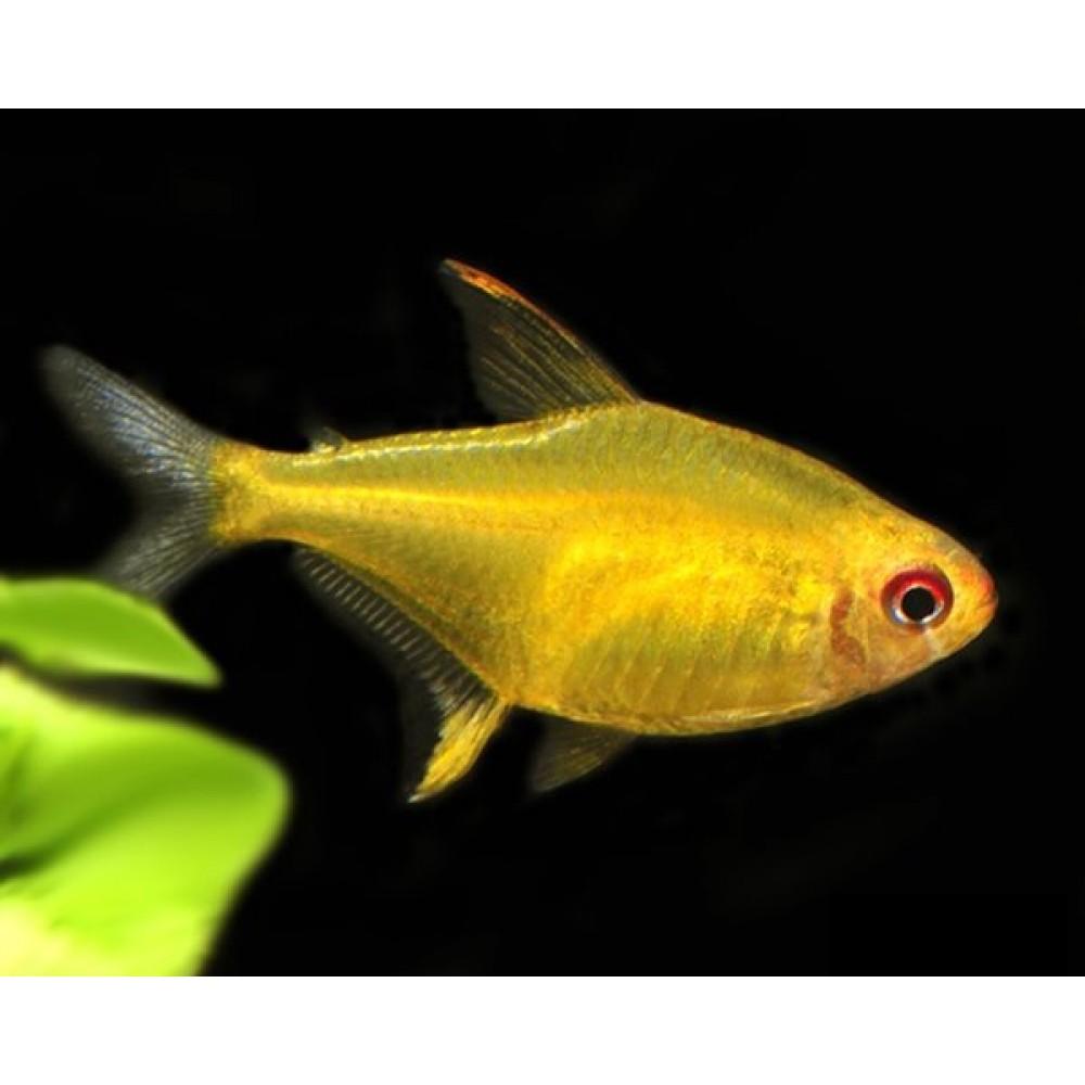 Lemon Tetra