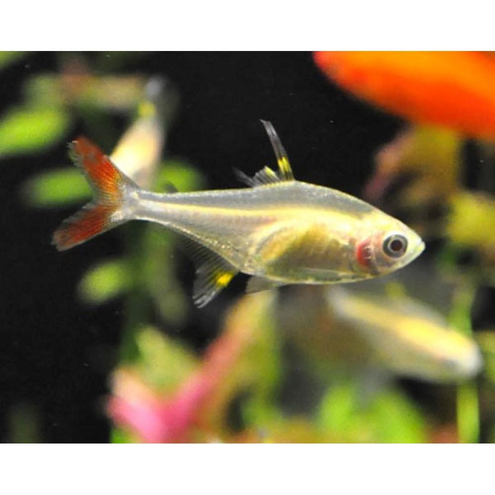 Albino Pristella Fish
