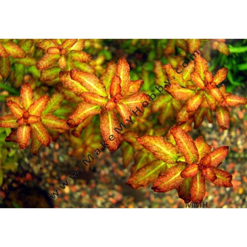 Ludwigia senegalensis