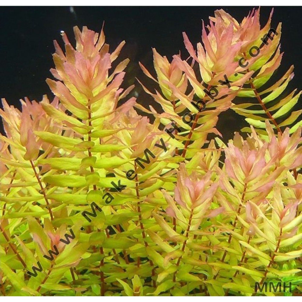 Rotala Rotundifolia, Sunset