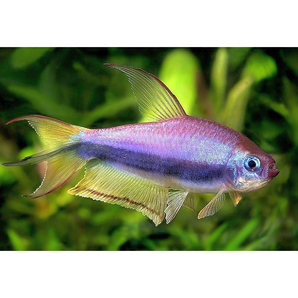 Purple Emperor Tetra