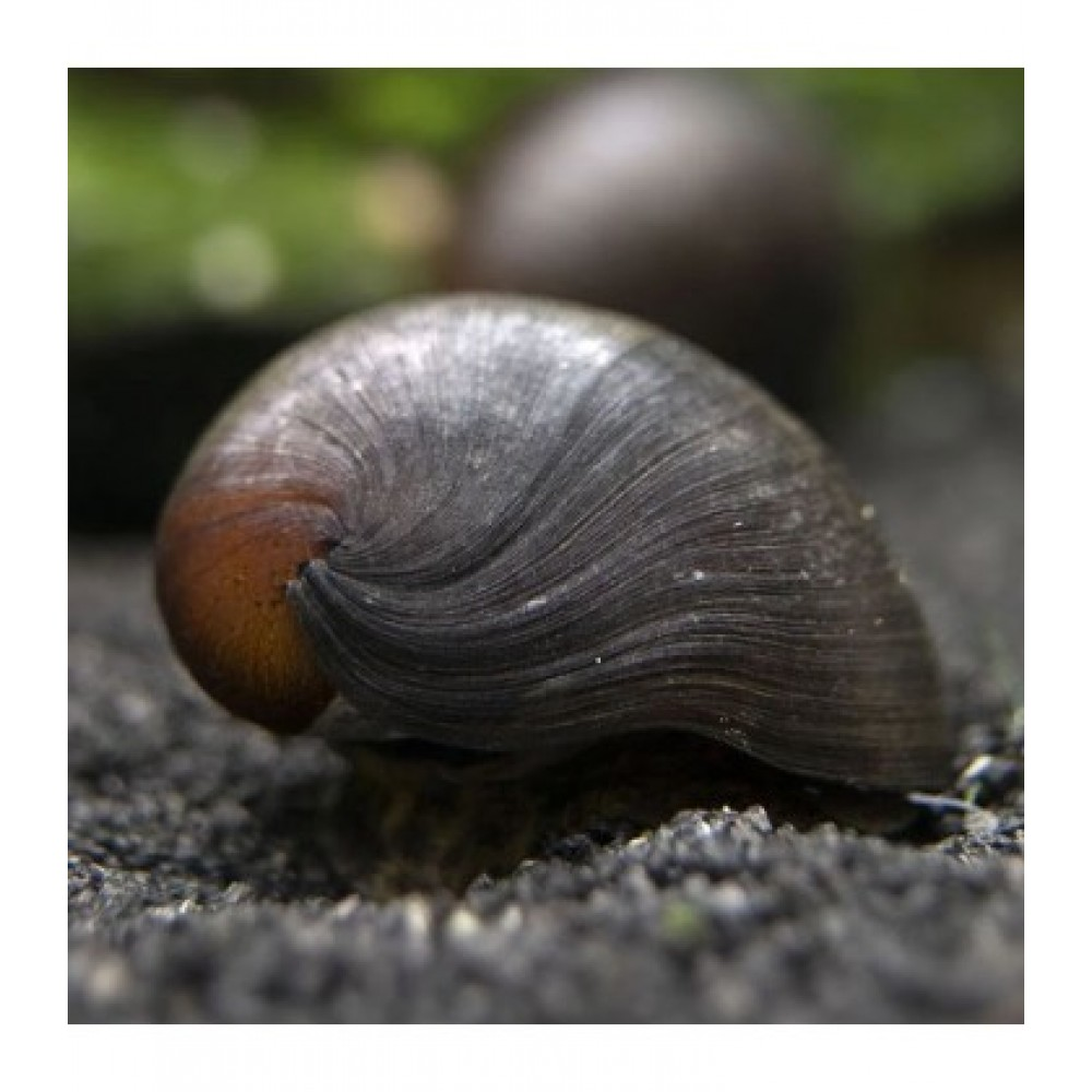 Black Military Helmet Snail