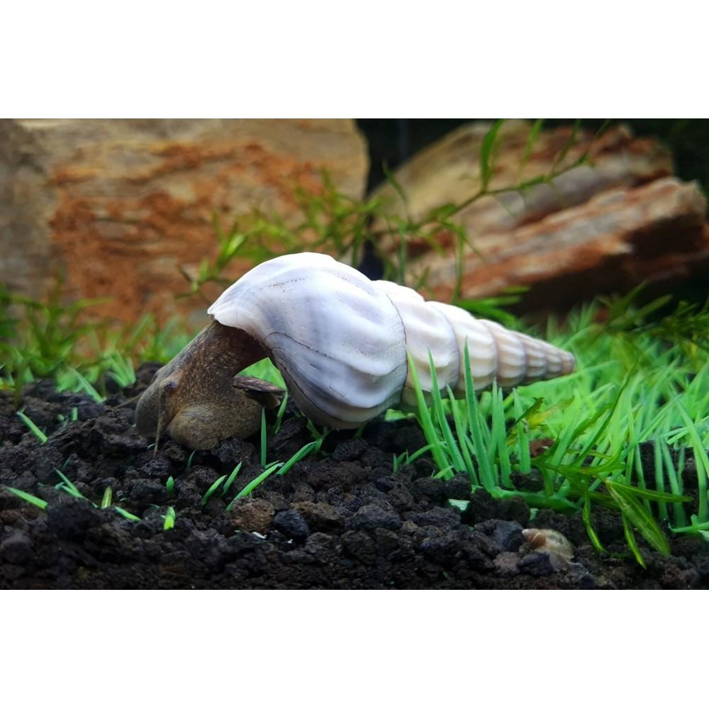 White Brotia Herculea Snail