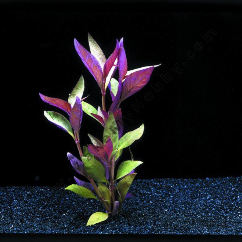 Alternanthera Reineckii, Lilacina