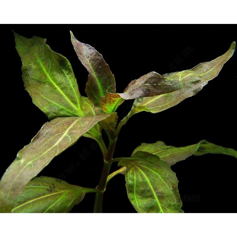 Gymnocoronis Spilanthoides