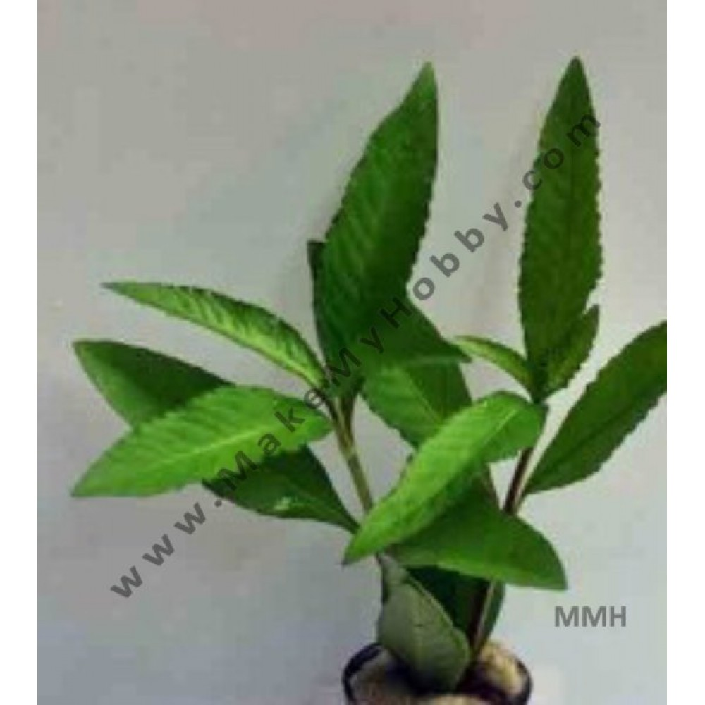 Hygrophila Sp.Quadrivalvis-  Broad Leaf