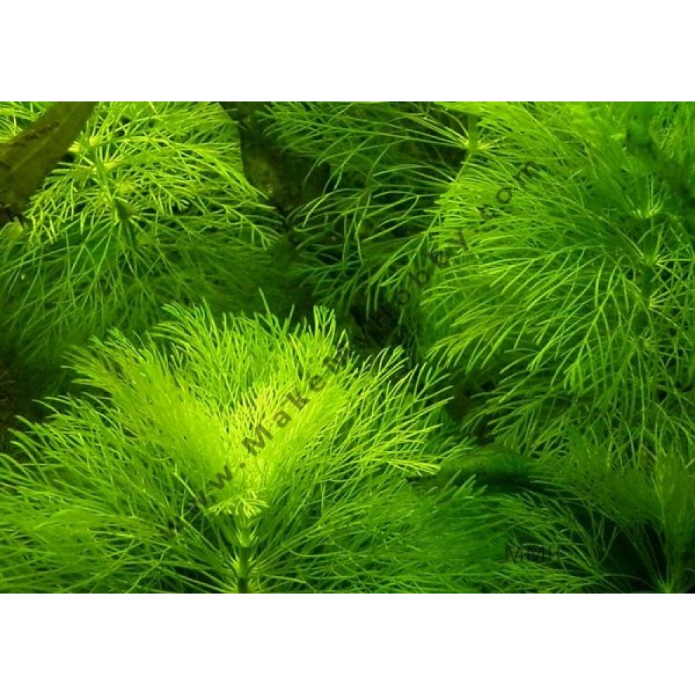 Limnophila Aquatica, Giant Green