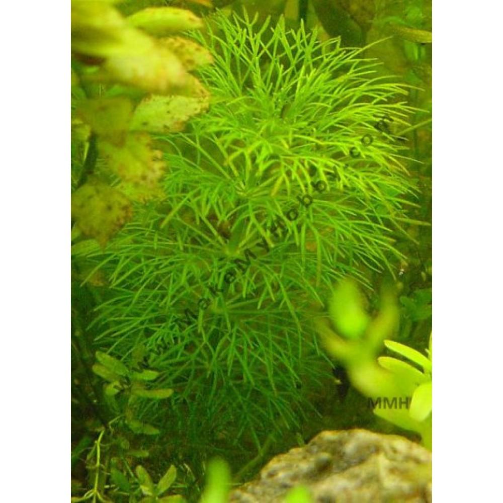 Limnophila Aquatica Sp, Dwarf