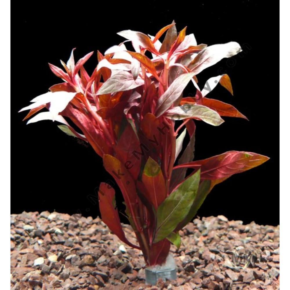 Ludwigia Peruensis / Glandulosa