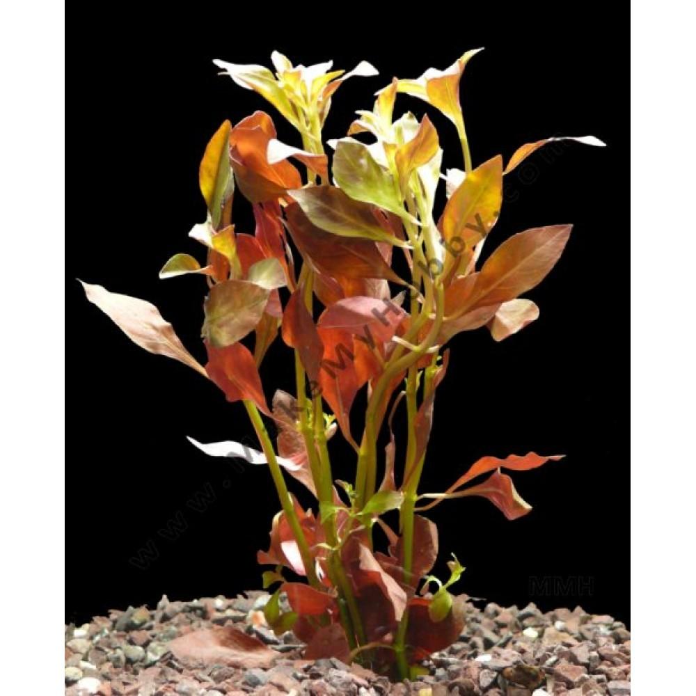 Ludwigia Palustris, Hi Red