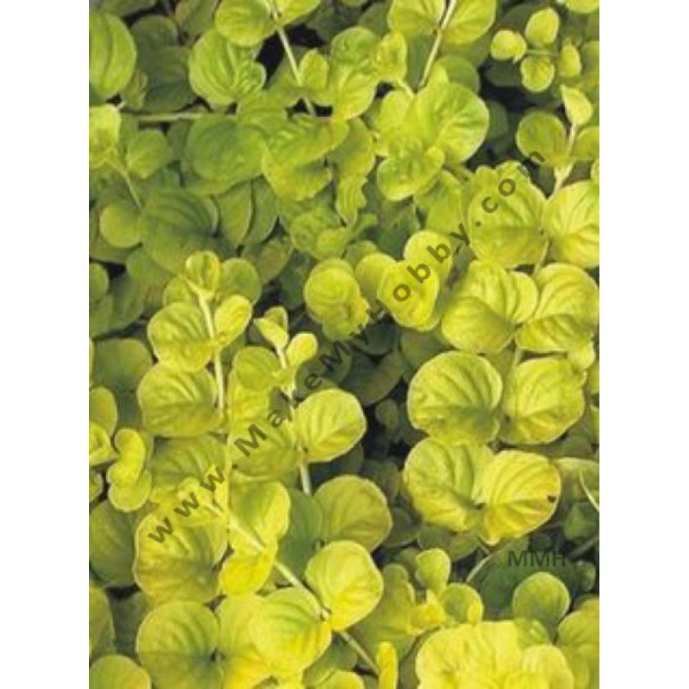 Lysimachia Nummularia Aurea, Yellow