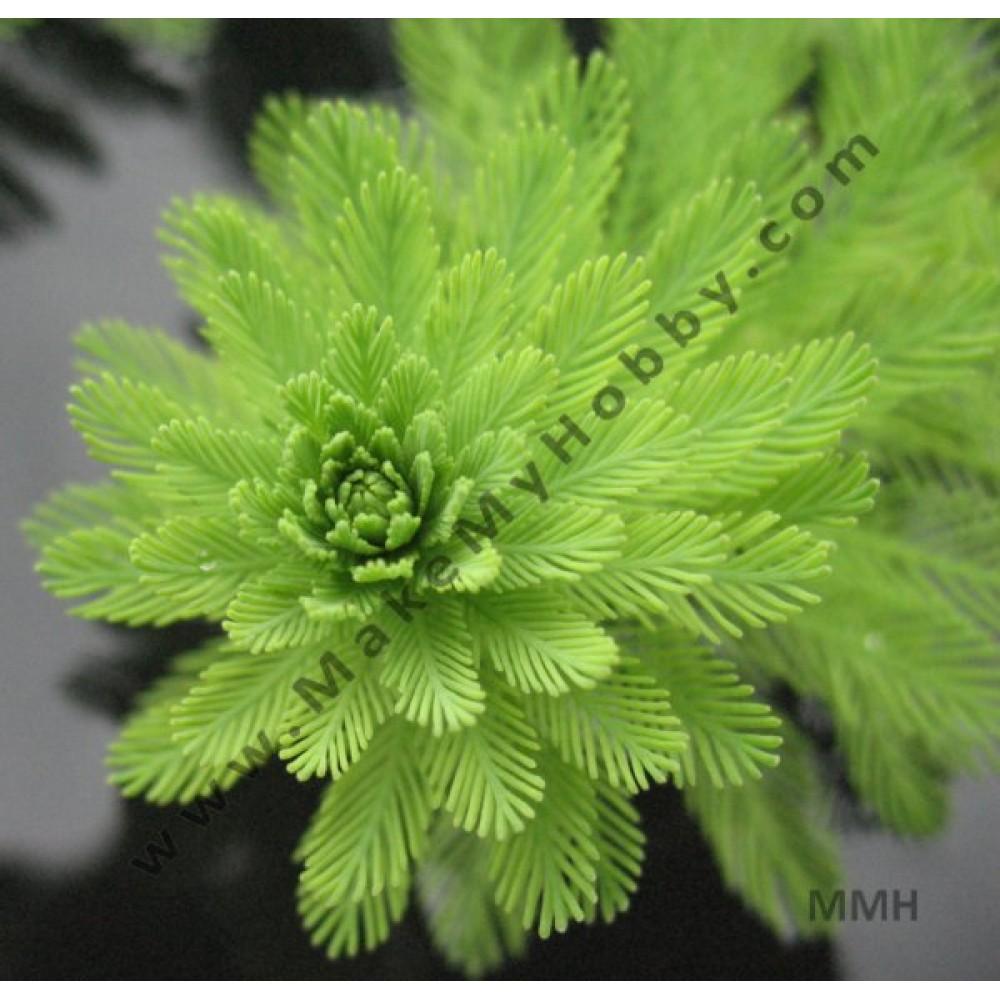 Myriophyllum Aquaticum, Mil Foil