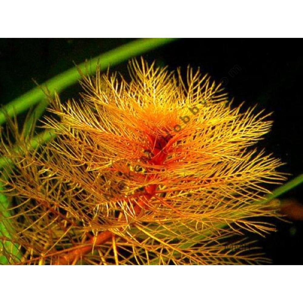 Myriophyllum Tuberculatum, Red
