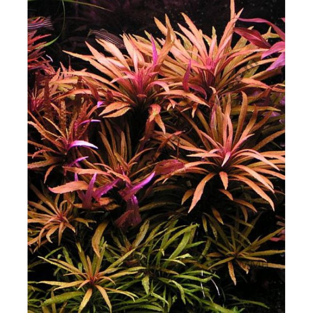 Pogostemon Stellatus- (Broad Leaf) Purple