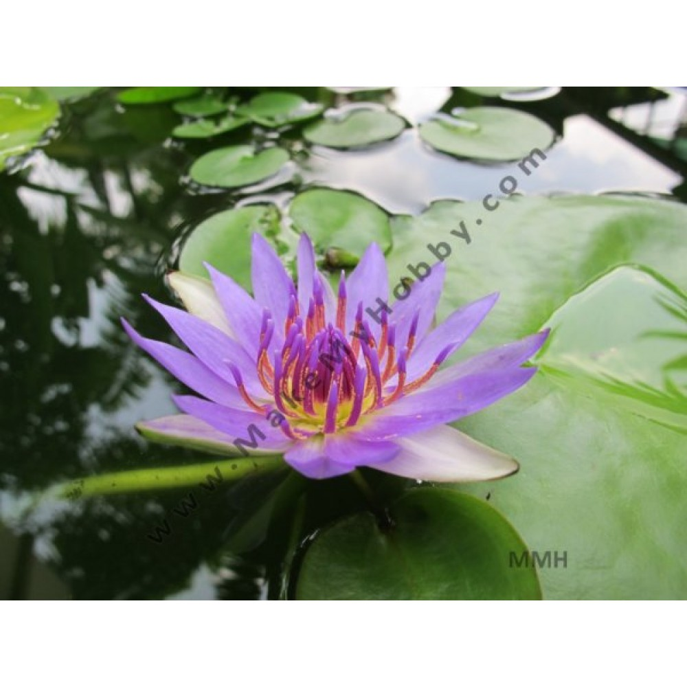 Nymphaea Sp. Day Blooming, Blue