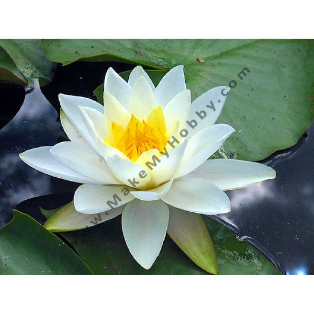 Nymphaea Sp. Night Blooming, Big White