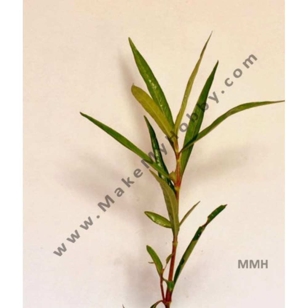 Hygrophila Quadrivalvis, Needle Leaf, Pot