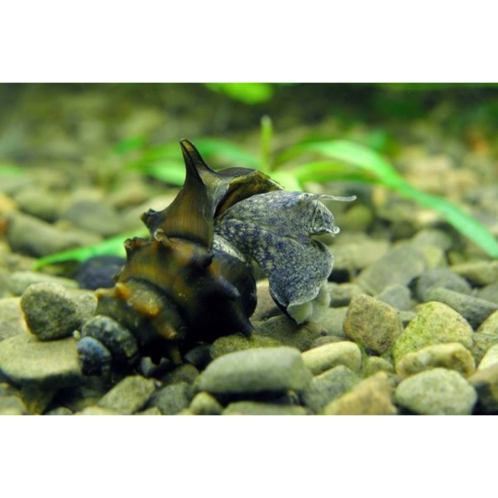 Horned Armour Snail (Brotia pagodula)