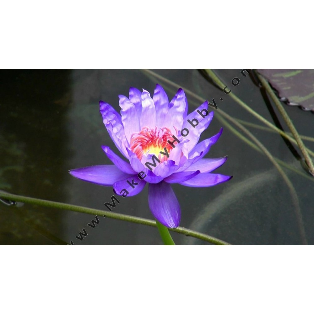 Nymphaea Sp. Day blooming, Violet