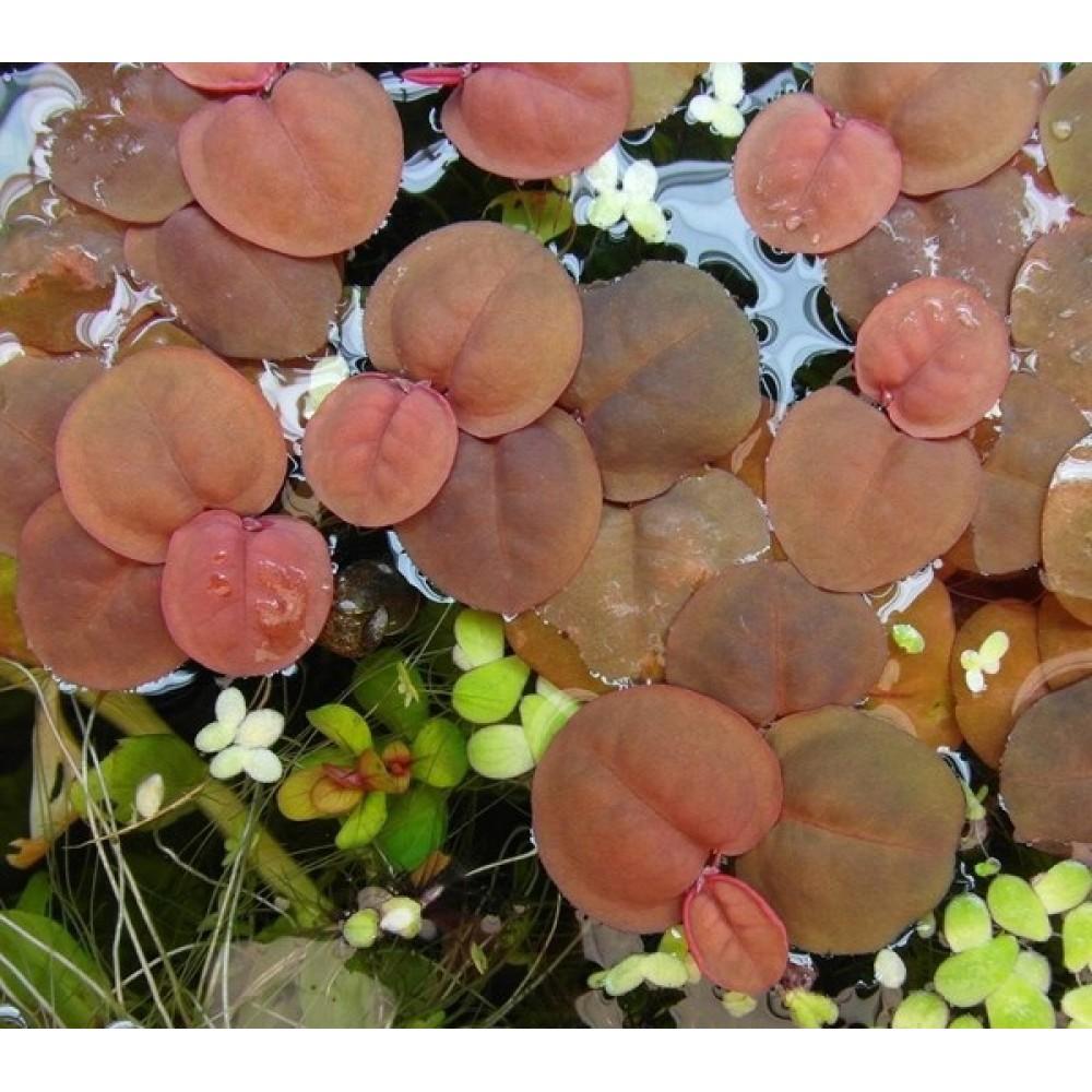 Phyllanthus fluitans, Bunch
